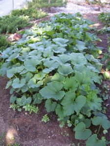 May your garden grow...Squash!